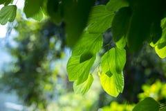 Piękny słońce penetruje liście storczykowy drzewo zdjęcie royalty free