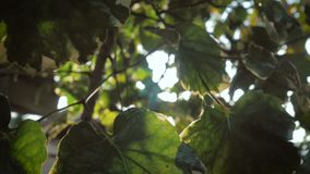 Piękny słońce połysk przez dmuchania na wiatrowej drzewo zieleni opuszcza zbiory wideo