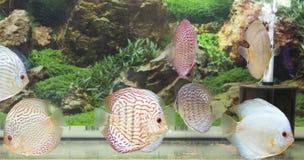 Piękny słodkowodny akwarium z dysk ryba Fotografia Royalty Free