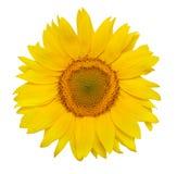 piękny słonecznik Fotografia Royalty Free