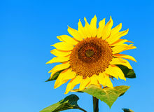 piękny słonecznik Zdjęcie Royalty Free