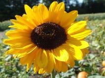 piękny słonecznik Zdjęcie Stock