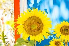 piękny słonecznik Obraz Royalty Free