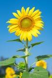 piękny słonecznik Fotografia Stock