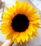 piękny słonecznik zdjęcia royalty free