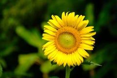 Piękny słonecznika koloru kwiat w Tajlandia Asia Fotografia Stock