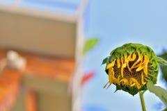 Piękny słonecznika koloru kwiat w Tajlandia Asia ziarno Fotografia Stock