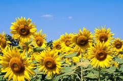 Piękny słonecznika pole, niebieskie niebo i Zdjęcie Royalty Free