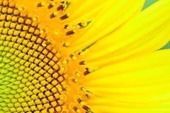 Piękny słonecznikowy abstrakcjonistyczny tło Obraz Royalty Free