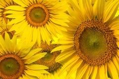 piękny słonecznikowy kolor żółty Zdjęcie Royalty Free
