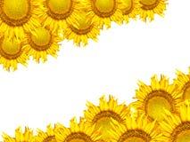 piękny słonecznikowy kolor żółty Obraz Royalty Free