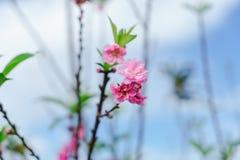 Piękny Sakura w Tajlandia przy Chiangmai obraz royalty free