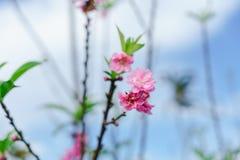 Piękny Sakura w Tajlandia przy Chiangmai zdjęcia stock