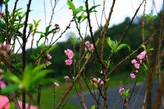 Piękny Sakura w Tajlandia przy Chiangmai zdjęcia royalty free