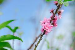 Piękny Sakura w Tajlandia przy Chiangmai zdjęcie stock