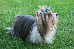 Piękny samiec psa trakenu bobra Yorkshire terier z łękiem na zielonym gazonie Fotografia Stock