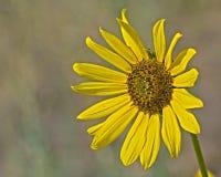 Piękny Samotny słonecznik Z Białym tłem Obrazy Royalty Free