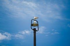 Piękny seagull obsiadanie na wierzchołku latarnia uliczna Zdjęcie Stock