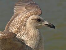 Piękny seagull z rozciągniętymi skrzydłami obraz stock
