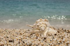 piękny seashell na małej otoczak plaży fotografia royalty free
