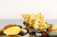 Piękny seashell wśród otoczaków Obrazy Stock