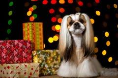 Piękny shih-tzu pies z Bożenarodzeniowymi teraźniejszość i bokeh Fotografia Stock