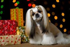 Piękny shih-tzu pies z Bożenarodzeniowymi teraźniejszość i bokeh Zdjęcia Stock