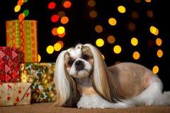 Piękny shih-tzu pies z Bożenarodzeniowymi teraźniejszość i bokeh Fotografia Royalty Free