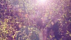 Piękny shimmer gossamers na trawie w świetle słonecznym z skutka słońcem i obiektyw migoczemy zbiory wideo