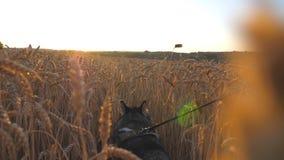 Piękny siberian husky pies ciągnie smycz podczas odprowadzenia przez wysokich spikelets przy łąką na zmierzchu zwierząt domowych  zbiory wideo