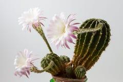 Piękny silky różowy kwitnie kaktus Obrazy Royalty Free