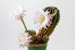 Piękny silky różowy kwitnie kaktus Zdjęcia Stock