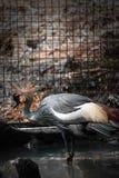 Piękny Siwieje korona żurawia od Uganda Ragunan zoo, D?akarta, Indonezja zdjęcie stock