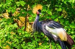 Pi?kny siwieje koronowanego ?urawia w zbli?eniu, tropikalny ptasi specie od Afryka, Zagra?aj?cy zwierz?cy gatunki zdjęcia royalty free