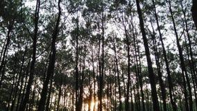 Piękny sosnowy las przy wschodem słońca fotografia royalty free