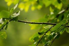 Piękny, spokojny deszcz, opuszcza na gałąź olchowy drzewo wewnątrz Zdjęcia Stock