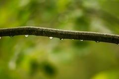 Piękny, spokojny deszcz, opuszcza na gałąź olchowy drzewo wewnątrz Obraz Royalty Free