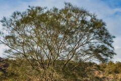 Piękny stary fantastyczny gałęzisty brąz kazuaryny equisetifolia drzewo z zielenią opuszcza w parku w jesieni przeciw niebieskiem obrazy royalty free