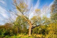 Piękny stary jesieni drzewo zdjęcie royalty free