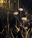 Piękny stokrotka kwiatu okwitnięcie na dzikim polu w zmierzchu świetle miękkie ogniska, Kreatywnie ciemny depresja klucz tonujący obraz royalty free