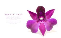 piękny storczykowy fiołek Obraz Royalty Free