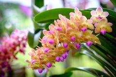 Piękny storczykowy kwiatu i zieleni liści tło w Garde Fotografia Royalty Free