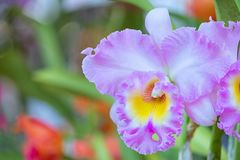 Piękny storczykowy kwiatu i zieleni liści tło w Garde obraz royalty free