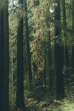 Piękny strzał gęsty las w wieczór fotografia royalty free