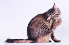 Piękny szary ciężarny kot drapa jej ucho Zdjęcie Stock