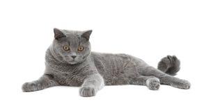 Piękny szary kot odizolowywający na białym tle Fotografia Royalty Free