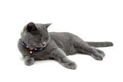 Piękny szary kot odizolowywający na białym tle Zdjęcie Royalty Free