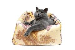 Piękny szary kot odizolowywający na białym tle Obraz Stock
