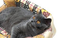 Piękny szary kot z kolorem żółtym przygląda się zbliżenie Zdjęcia Stock