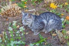 Piękny szary tabby kot z kolorem żółtym ono przygląda się i brązu nos jest w ogródzie Zdjęcie Royalty Free